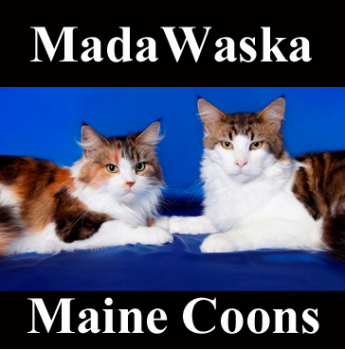 Registered Maine Coon Cat Breeders In Sydney