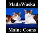 Madawaska Maine Coons - Maine Coon Cat Breeder - Camden, NSW