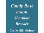Candy Rose - British Shorthair Breeders Aust - Sydney, NSW