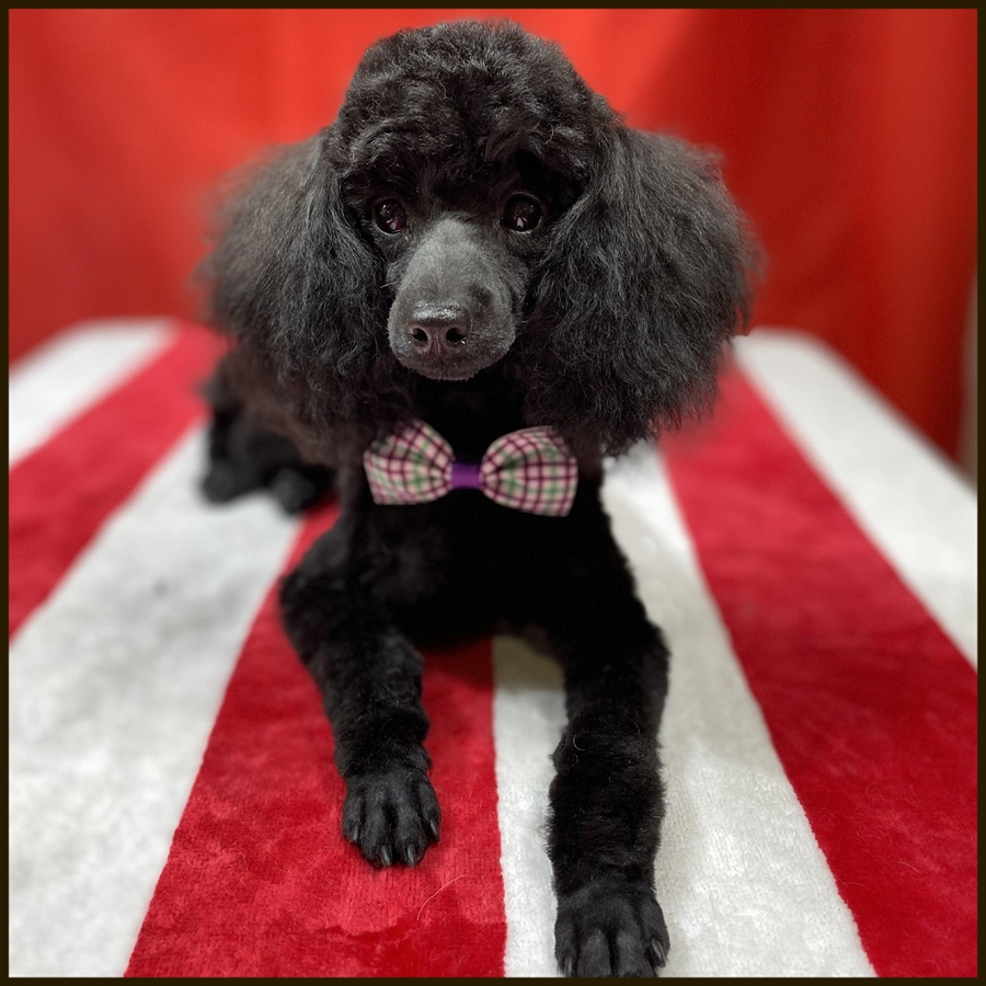 Poodle gallery image