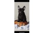 Brindlelicus French Bulldogs - Brisbane, QLD