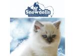 Snowdolls - Ragdoll Breeder - Cooma, NSW
