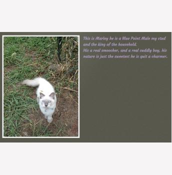 Rescue ragdoll cats sydney