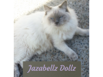 Jazabellz Dollz - Ragdoll Cat Breeder - Sydney, NSW