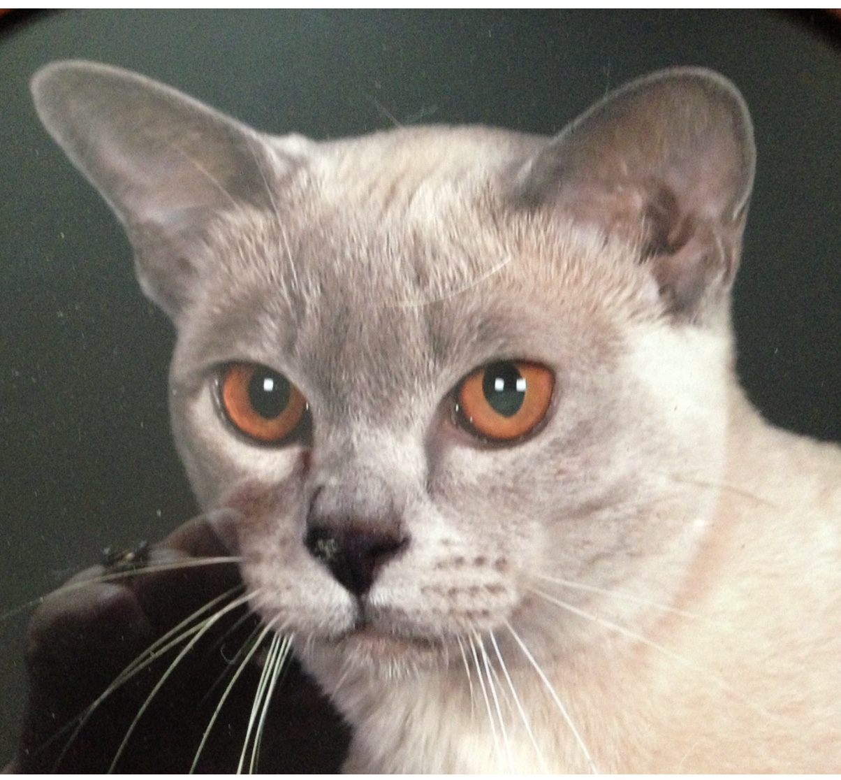 Densue Burmese Burmese Cat Breeder Hallett Cove South Australia