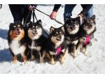 Caleebra Kennels - Finnish Lapphunds - Melbourne, VIC
