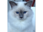 Arakan - Birman Breeder & Siberian Cat Breeder - Melbourne, Victoria