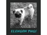 Ellengon Pugs - Pug Breeder - TAS
