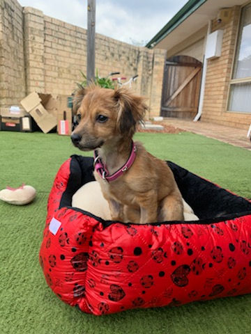Perth Chihuahua Rescue Inc