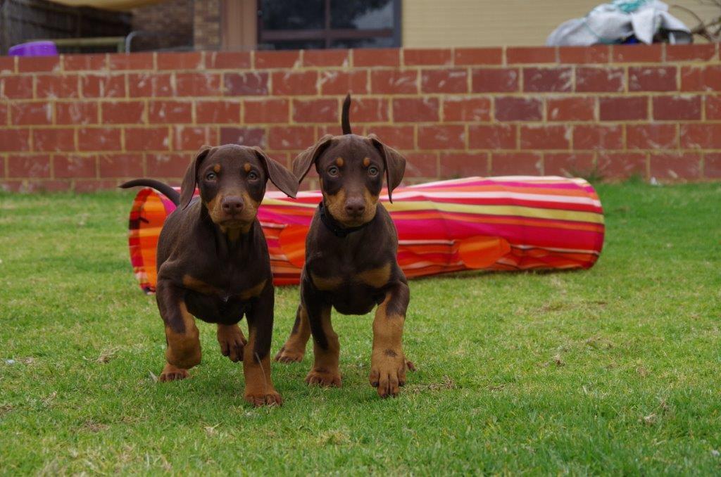 Red Dobermann Puppy Love gallery image