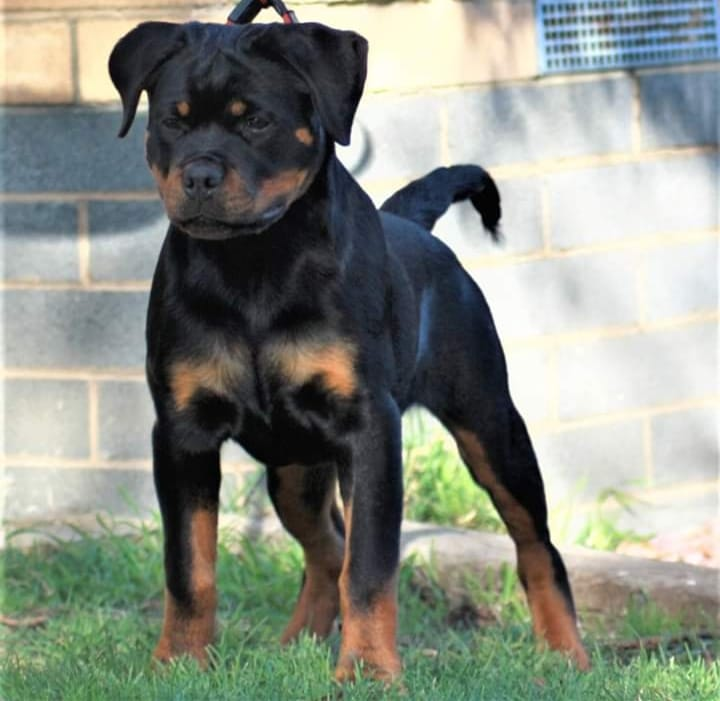 Zoyah  young puppy  gallery image