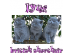 Lynx - British Shorthair Breeder - NSW