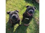 Blue Skye Staffies - English Staffordshire Bull Terriers - Perth, WA