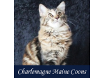 Charlemagne Maine Coons - Maine Coon Cat Breeder - Townsville, QLD