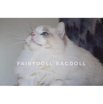 Registered Ragdoll Cat Breeders In Tasmania Tas