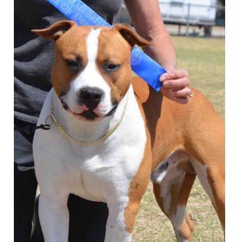 American Staffordshire Terrier Breeders Australia American