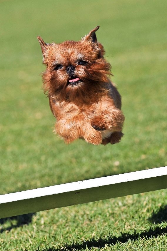 Griffons can jump gallery image
