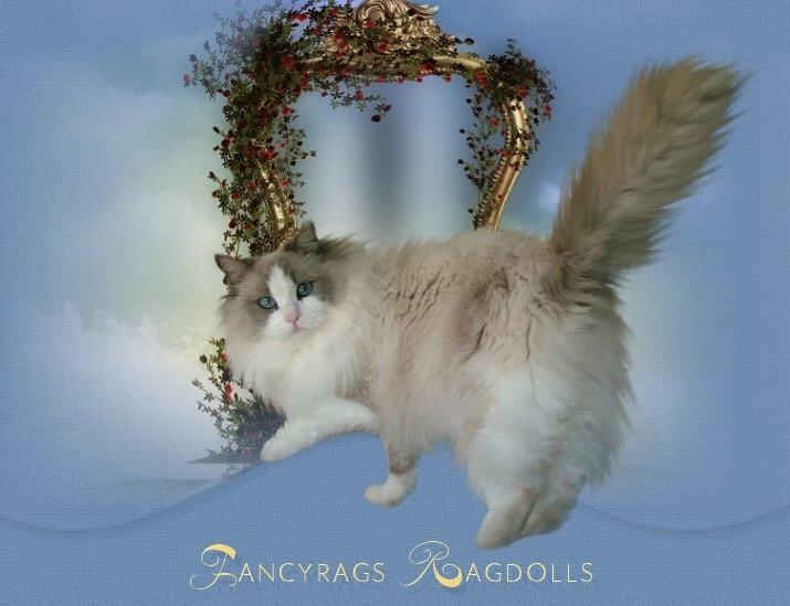 Fancyrags Ragdolls Fancyrags Daydreamin Diamonds gallery image