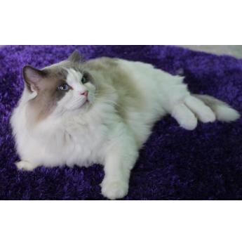 Fancyrags Ragdolls & Chriscott Exotics, Persian & Ragdoll Breeder - Mandurah, WA