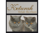 Keturah & Dynamik Cattery - Scottish Fold & British Shorthair Cat Breeders Australia - Victoria
