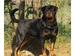 Yuluwirri Rottweilers - Rottweiler Breeder - Mackay, QLD