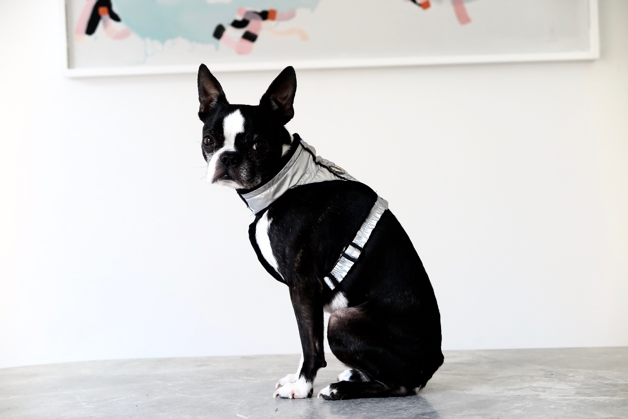 Silver Dog Harness