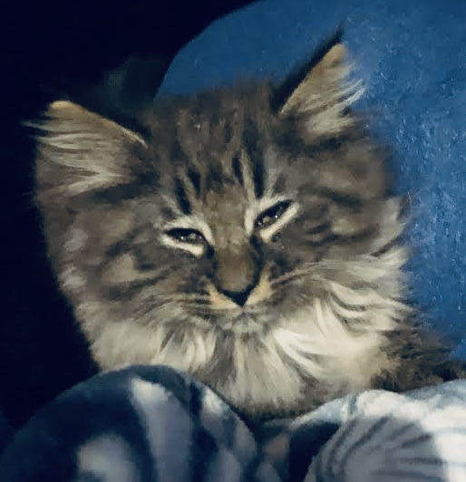 Black silver tabby Norwegian Forest Cat  gallery image