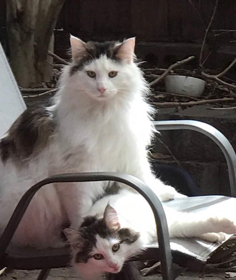 Brown tabby and white Norwegian Forest Cats