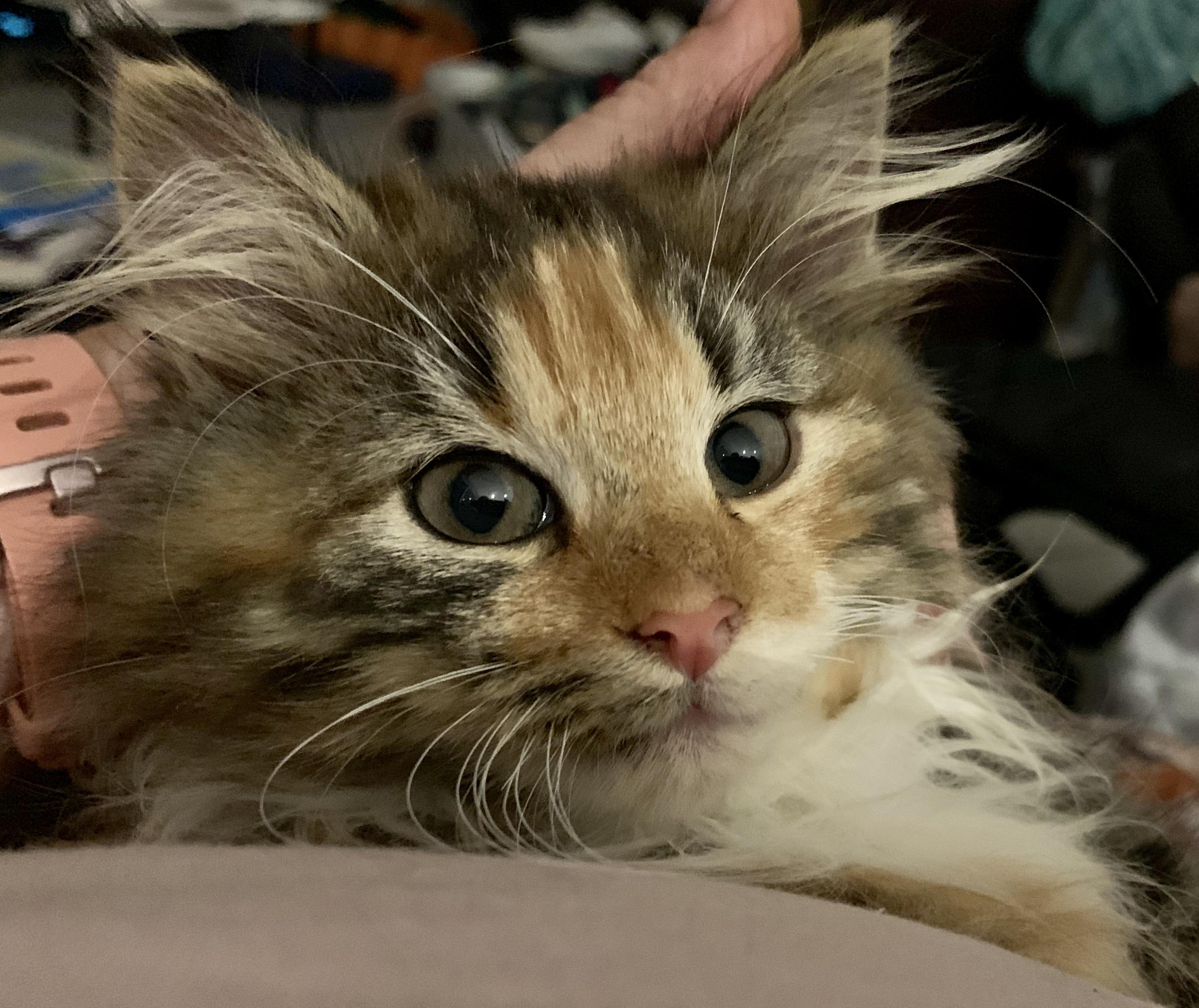 Norwegian Forest Cat tortie tabby gallery image