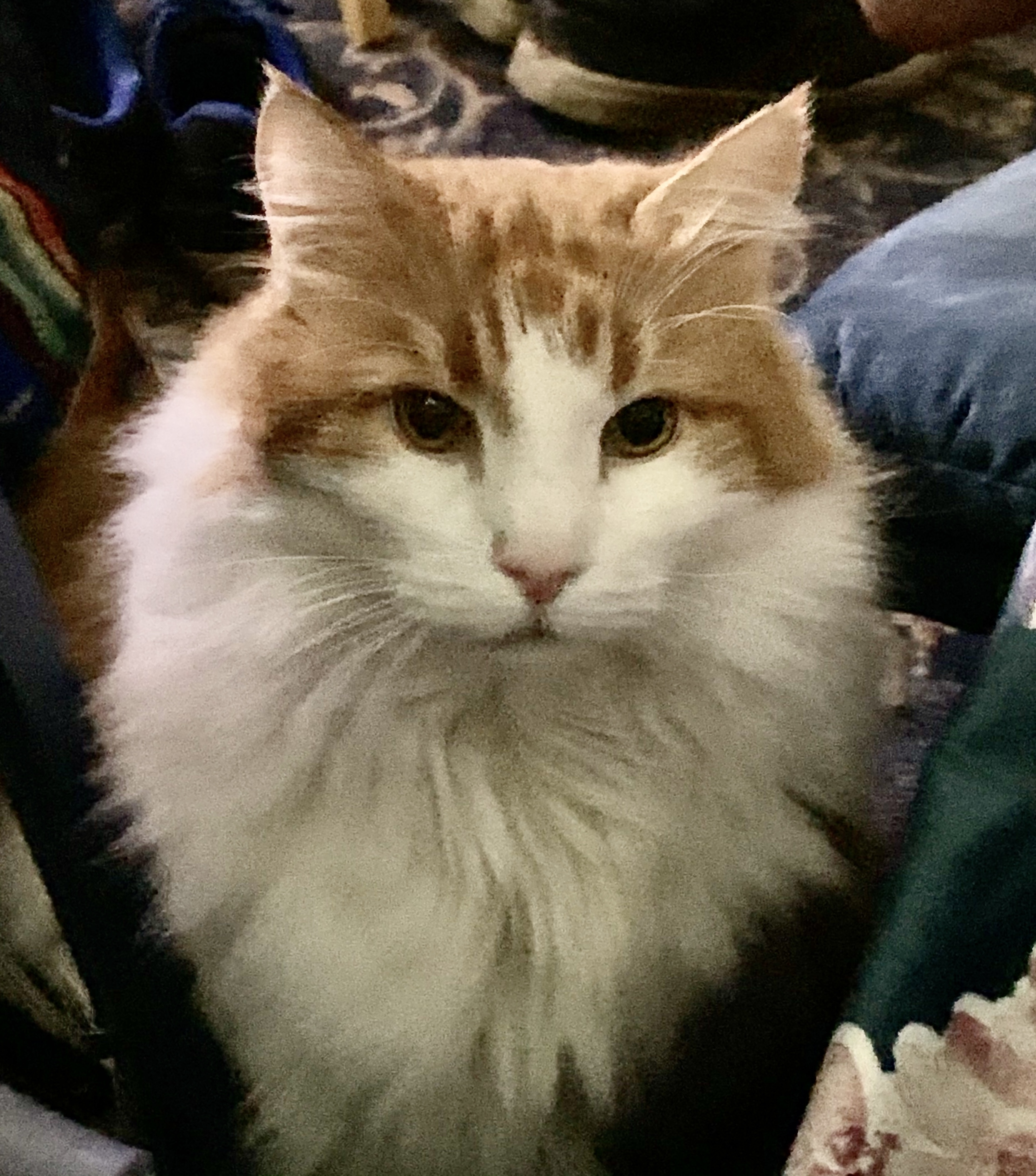 Norwegian Forest Cat red tabby and white gallery image