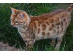 Majestic Paws Bengal Cats - Ballarat, VIC