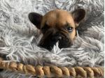 Linhope French Bulldogs - French Bulldog Breeder - Geelong, VIC