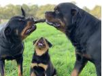 Dellahar Rottweilers - Rottweiler Breeder - Broadford, VIC