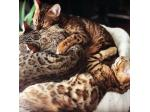 Polyphony Cats -Bengal Cat Breeder - Canberra, ACT