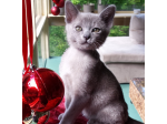 Moondance - Burmese Cat Breeders - Victoria, Frankston
