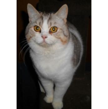 British shorthair kittens for sale geelong