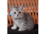 Casajai Catz - British Shorthair Breeder, Scottish Fold Breeder - Geelong, Victoria
