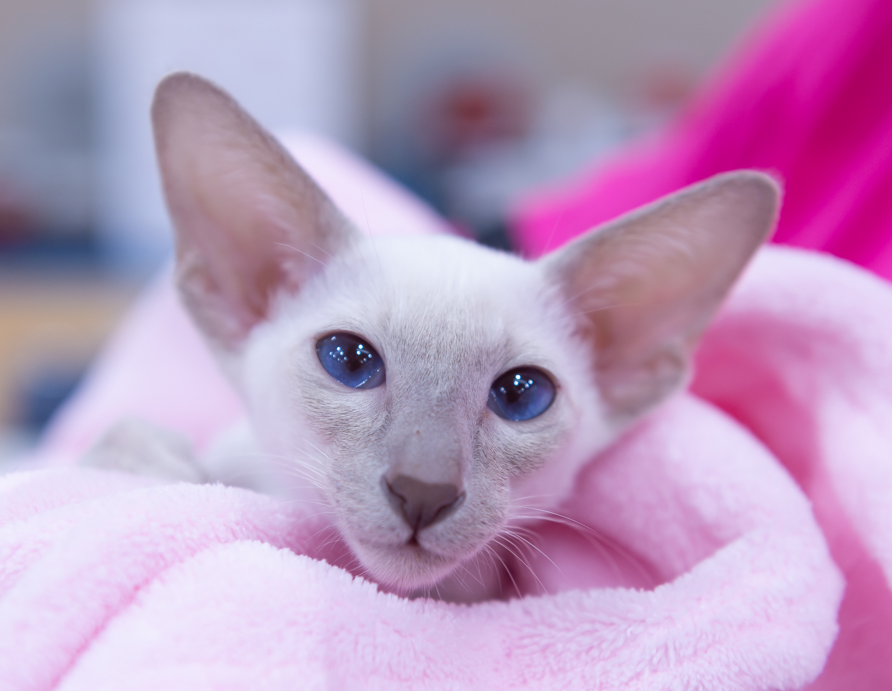 Lookatmese Summer Breeze. Lilac Point Siamese.