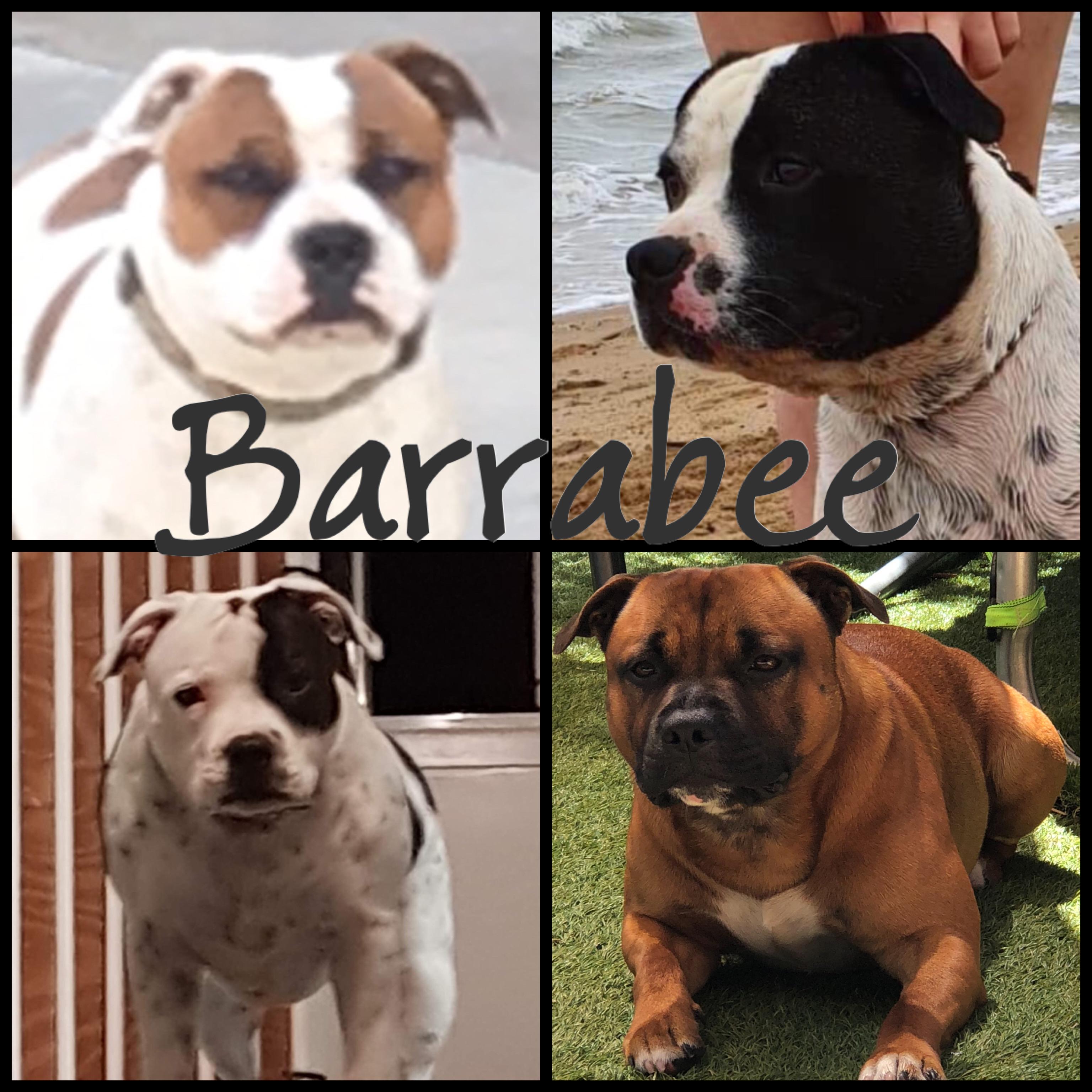 Barrabee bred