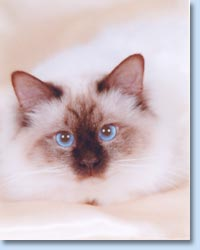 How Much Do A Blue Point Birman Cat Cost