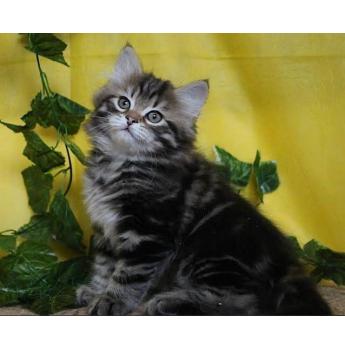 Prideshill Siberians - Siberian Cat Breeder - Brisbane, Queensland