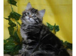 Prideshill Siberians - Siberian Cat Breeder - Brisbane, Queensland
