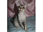 Kittams - Devon Rex Breeder - Brisbane, QLD