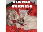 Burmese Breeders Australia   Burmese Info & kittens