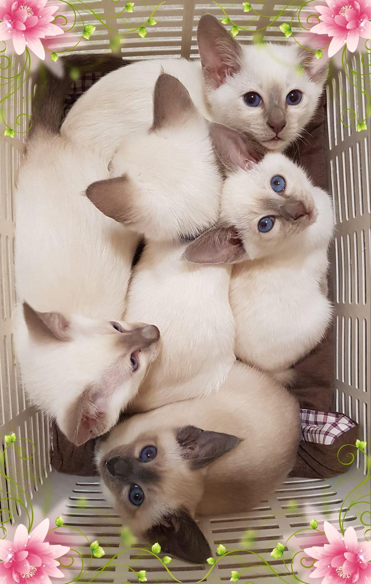 Oramor Siamese Kittens gallery image