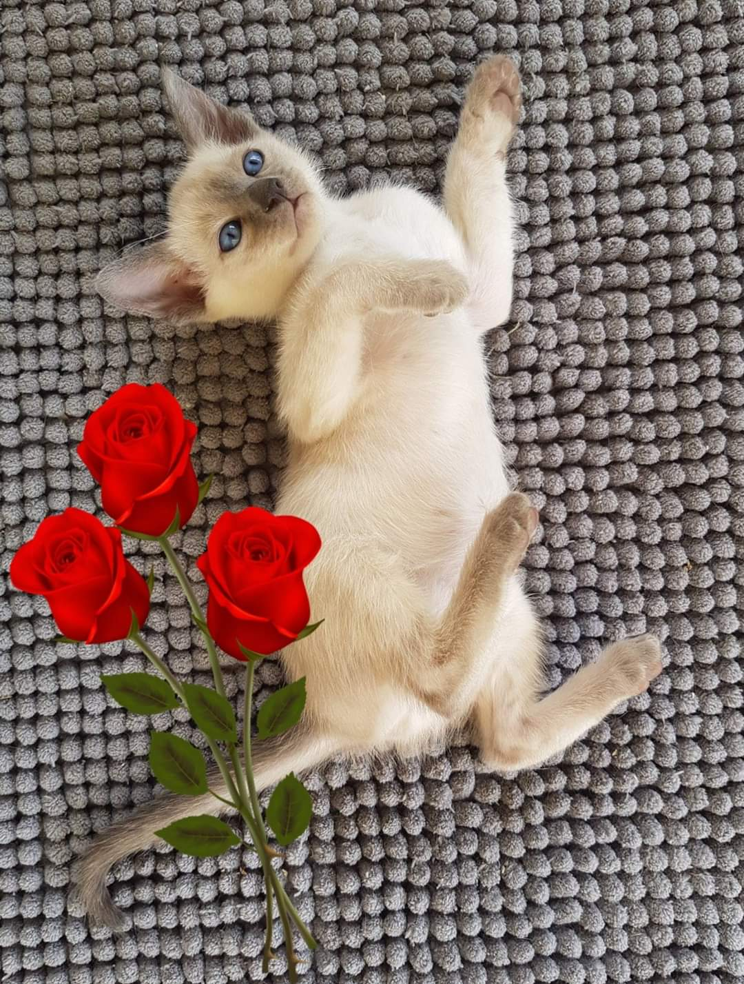 Siamese Kitten bred by Oramor gallery image