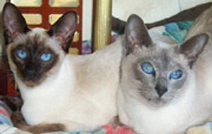 SIAMESE KITTENS BRED BY ORAMOR