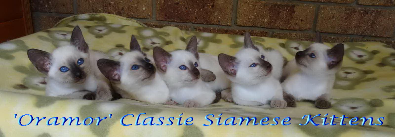 SIAMESE KITTENS BRED BY ORAMOR gallery image