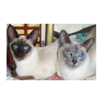 Burmese and Siamese Cat Breeder - Oramor - Maryborough, QLD