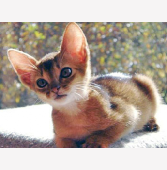Abyssinian cat adelaide
